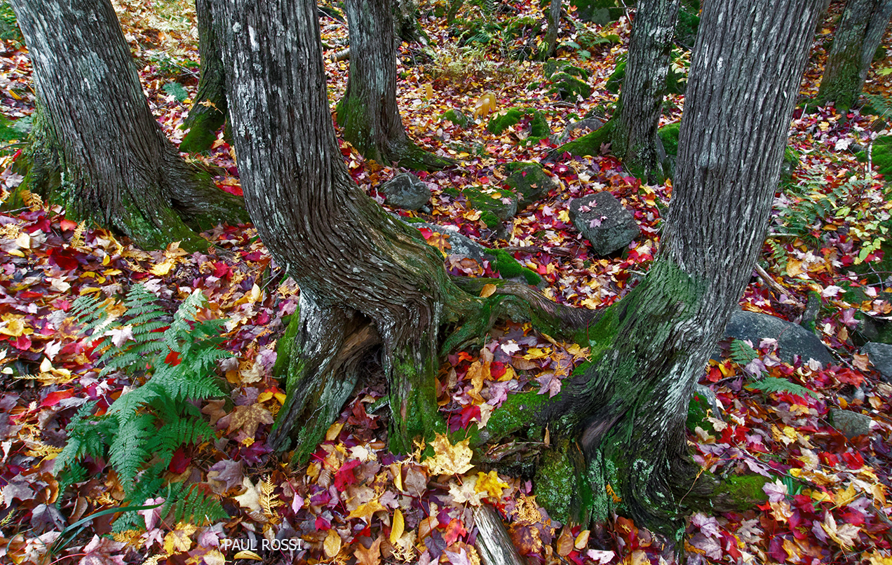 This image has an empty alt attribute; its file name is 12-fall-forest-cedar-trunks.jpg