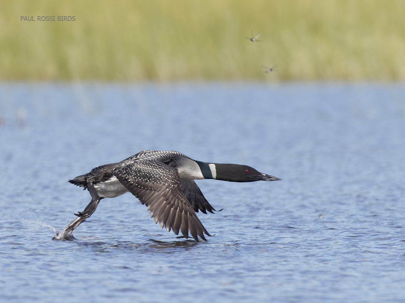 This image has an empty alt attribute; its file name is loon-running-2-for-wordpress.jpg